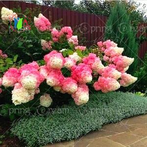 50pcs / sac Vanille Fraise Hortensia Graines De Fleurs pour Planter Des Bonsaïs De Fleurs ou Des Graines D'arbres Hortensia Macrophylla Home Garden