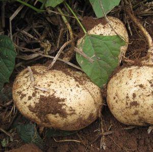 Süßkartoffelsamen, Garten Obst- und Gemüsesamen Topfpflanze für Hausgarten 6 Partikel / Beutel