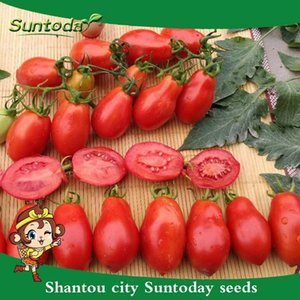 Suntoday Lycopersicon oval rojo Roma Vf Grande transformación del tomate Vegetable Seeds Asian Garden planta híbrida de semillas no-GMO orgánicos frescos