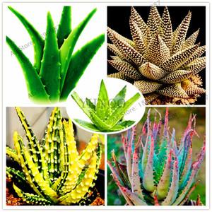 100 Adet güzellik Aloe vera tohumları, nadir ot Ağacı bonsai bitkiler ev ve bahçe DIY için, yenilebilir Güzellik kozmetik kullanımı