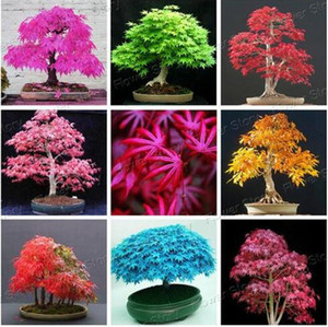 20 Pcs Blue Fire Maple Tree Seeds Bonsai Tree Seeds Rare Yellow Red Japanese Maple Seed Plants For Home Garden Flower