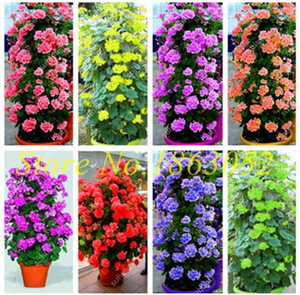 Hot 100 Pcs Bag Multiple Colour Geranium Seeds Perennial Climbing Flower Seeds Pelargonium Indoor Beauty Flower Plant For Garden
