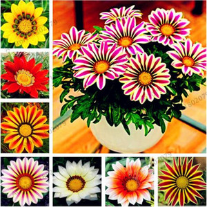 100 pcs bag Mixed color Gazania rigens seeds, Chrysanthemum Seeds flower Seeds for home&garden, bonsai plant for indoor outdoor planting