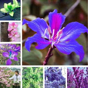 Rare Purple Orchid Flower Tree Seeds 50 Pcs Fresh Beautiful Bauhinia Purpurea Seeds Flowering Trees Mix Color Beauty Your Garden