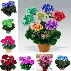 100 Pcs Drawf Bonsai Geranium seeds Rare Variegated Geranium Flower Seed Potted Winter Garden Flower for Bonsai Plant for Graden
