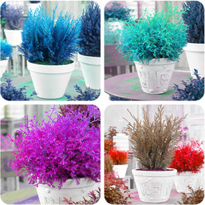 New Product 20 Pcs Cypress Tree Seeds Perennial Bonsai Tree Seeds for Balcony Planting Air Purification Evergreen Tree Seed