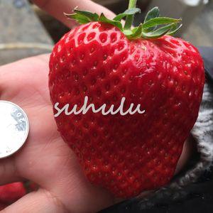 300 Stücke Rot Klettern Erdbeere Baum Samen Exotische So Große Rote Erdbeere Samen Obst Samen Für Garten Bonsai Farmer Zimmerpflanzen So Süß