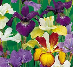 Beautiful Flowering Dutch Iris root Mixed Colors Bulbs