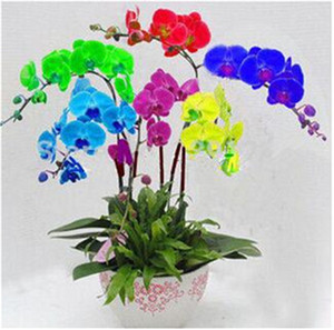 30 Pcs Mini Bonsai orchid seeds, Rainbow Butterfly Orchid seeds, Indoor Home Miniature Flower Pot Garden Plants Four Seasons Phalaenopsis