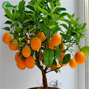 Graines d'orange grimpant bonsaï d'arbre d'oranger Graines de fruits bio Comme un arbre de Noël pot pour plante de jardin maison 30pcs / sac A03