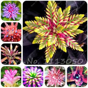 50 Sementes raro bromeliad sementes vegetais e frutas plantas suculentas Mini Cactus Pots Barato Rainbow Crianças Bonsai flor