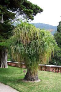 15 pcs Queue De Poney Palm Graines Jardin Ornement Evergreen Trachycarpus Fortunei Bonsaï Plantes Paysage Tropical Maison Jardin