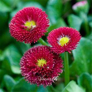 Red English Daisy Bellis Flower Seeds Facile-crescita DIY Giardino Casa Giardino Perenne Pianta di fioritura Pianta ad alto tasso di germinazione Semi Piante da giardino