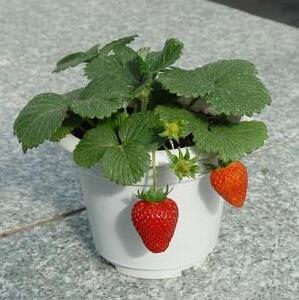 Sementes de morango, varanda vaso de frutas deliciosas sementes 100 partículas / saco