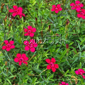 200 Seeds Maiden Pink Dianthus Deltoides Easy-care Perennials Ideal for the beginning gardener DIY Home Garden Bonsai Flower