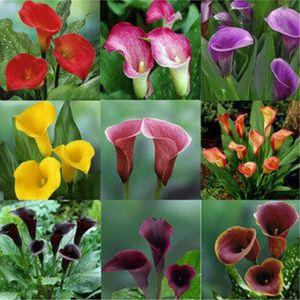 100 Unids Calla Lily Semillas de Flores Bonsai Planta Para El Hogar Y El Jardín Decoración Ramos De Boda Regalo Flor Tan Hermosa