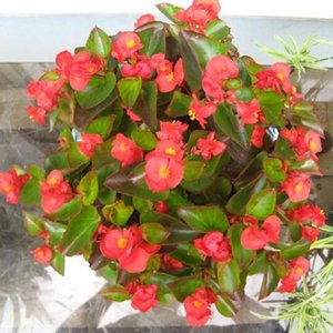 1 Orijinal Paket 20 Tohumlar begonya, Güzel Begonya çiçek tohumları saksı bonsai bahçe avlu balkon tohumları