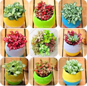 100 teile / beutel Seltene Chinesische Bonsai Regenbogen Mixed Coleus Samen Mini Topfpflanzen Für Hausgarten Pflanzen So Schön