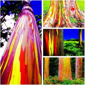 100 pcs bag Eucalyptus Seeds Tropical Tree Seeds Home Decoration Beautiful Eucalyptus Tree Garden Plant Rainbow Eucalyptus Tree