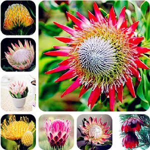 20 pcs Graines Crepe Ginger Seeds Costus Speciosus Malay Ginger Flower Seeds Vegetables & Fruits Mini Chinese Garden Beehive Ginger