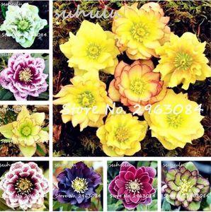 جديد اليابانية بونساي بذور النباتات بوعاء helleborus 100 قطع diy الرئيسية حديقة النباتات الزهور مثل كاميليا بونساي semente إن semillas