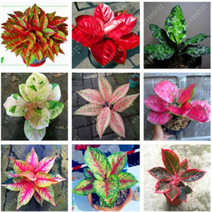 50 pcs bag Aglaonema 'Pink Dud', Beautiful Mosaic Plants Perennial Evergreen Trees Flower Seeds, Houseplant Home Garden Potted