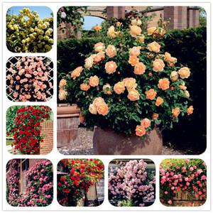 100 Pcs / Sac Escalade Rose Graine Plante En Plein Air En Pot Bonsaï Plantes Rose Rosa Plantes Vivaces Plante Pour La Maison Jardin Escalade Plantes
