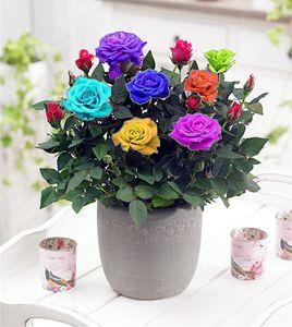 Hot Sale 100 Pcs Rainbow Rose Seeds Mini Bonsai Flower Seeds For Home Garden Plants Free Shipping