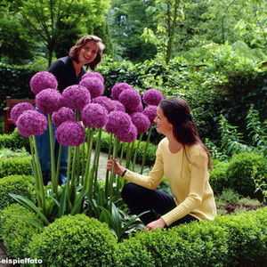 30pcs viola gigante Allium Giganteum Bella semi di fiori da giardino pianta il raro giardino semi di fiori per vaso di fiori fioriere J00
