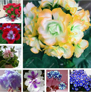 100 PC 제라늄 씨앗 다년생 제라늄 꽃 식물 Pelargonium 꽃 정원 장식 분재 씨앗 DIY 화분