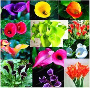 Красочные Калла Лилия семена редких растений цветы семена, цветы для домашнего сада -100 семена акции бонсай легко расти