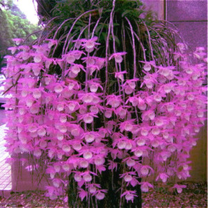 Free Shipping 200 Pcs Mixed Dendrobium Seeds Potted Beautiful Flower Seeds Variety Complete The Budding Rate 95% Sementes