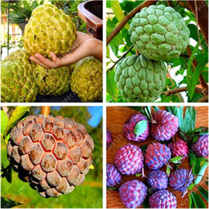 10 pcs Soursop fruit, (graviola annona muricata), Multi-color sweetsop seeds Delicious fruit seeds sugar apple plant in bonsai