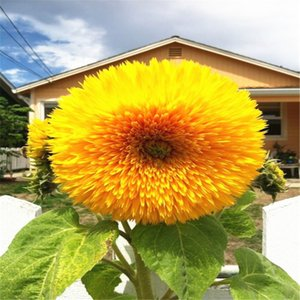 Ayçiçeği Çiçek 50 Tohumları dikim için Çift Blooms Tohumlardan Büyümek Kolay Çocuklar için Popüler Etkileyici çiçek