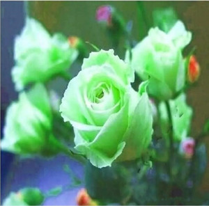 Green et rouge Rose Flower Graines Balcon Barrière en pot Graines Bonsaï Fleurs Graines Graines Plantes de jardin 100 pièces par Pack Livraison gratuite