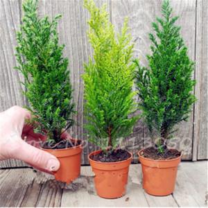 Hot 50 Pz italiana Cipresso (Cupressus sempervirens) Semi Pino, popolare Hardy Evergreen Pinus Bonsai Seeds India agrifoglio in vaso per il giardino