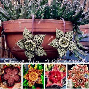 Ücretsiz Kargo 30 Adet Stapelia Pulchella Tohumları, Renkli Kaktüs Bonsai Succulents DIY Ev Bahçe Dikim için Kolay Büyüyen