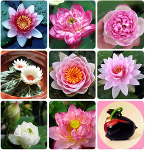 10 Pcs Bowl Lotus Flower Plants Lotus Seed Plant Bonsai Lotus Seeds Teach You How To Plant Home Garden Free Shipping