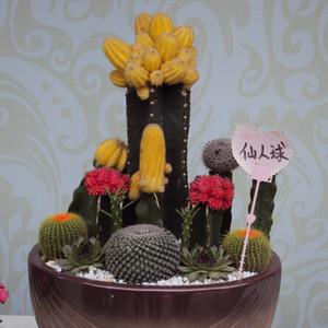 1 Original Pack 10 semillas mezcla de cactus, escritorios de oficina mini suculentas semillas de flores