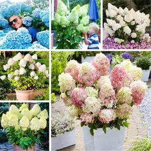 Vanilla Strawberry Hydrangea Flower Seeds For Home Planting Perennial Outdoor Indoor Bonsai Easy To Grow 20 Pcs Bag