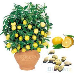 Semi di limone Semi di albero da frutto Bonsai. la pianta dell'interno dei bonsai del seme giallo del limone organico per la casa Gatden 30 pc / borsa libera il trasporto