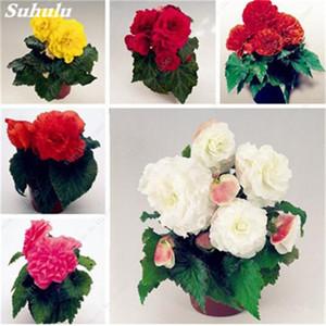 100 Adet Bonsai Begonya Tohum Mix Renk Hybrida Voss Fenerler Çiçekler Begonya Malus Spectabilis Çin Bonsai Bahçe Dekorasyon