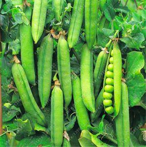 20 개 / 봉지 완두콩 씨앗, 유기농 슈퍼 달콤한 녹색 화살표 콩 씨앗, 유기 재배. 보리 종자의 야채, 텃밭 공장
