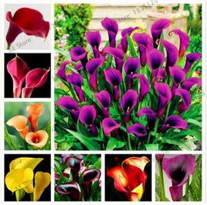 Бонсай семена цветов 100 шт. / пакет красочные Калла Лилия семена редких растений для сада лилии семена многолетних садовых цветов
