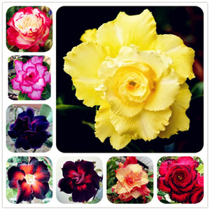 Sıcak Satış Bonsai Adenium Obesum Tohumları Balkon Çiçek Tohumları 2 Adet Gökkuşağı Çöl Gül Tohumları Ev Bahçe Için Büyümeye kolay