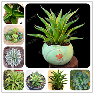 300 Pcs Mixed Aloe seeds Cacti Agave Bonsai Rare Succulent Plants Agave-Americana Potted Agave Plants For Home & Garden Decoration