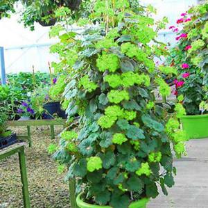 Hot Sale 500Pcs Seeds Climbing Geranium Bonsai Outdoor Pelargonium Peltatum Tree Perennial Flower Indoor Rooms Garden Pot Plant Easy Grow