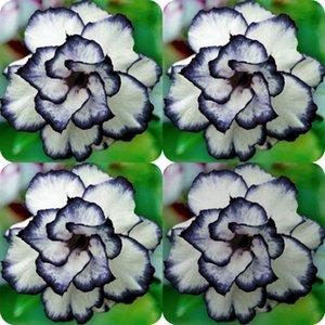 100 조각 희귀 검은 흰색 사막 장미 씨앗 Adenium Obesum 꽃 다년생 이국적인 식물 꽃 씨앗 꽃 발코니 정원 정원