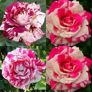 100 개 핑크 화이트 장미 꽃 희귀 씨앗 홈 장식 새로운 크림슨 장미 씨앗 Adenium Obesum 다년생 이국적인 식물 꽃 발코니 정원 마당