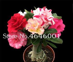Sıcak Satış Bonsai Adenium Obesum bitki Balkon çiçekler bitkiler 3 adet tohumları Gökkuşağı Desert Rose Bonsai ev Bahçe Için büyümek kolay